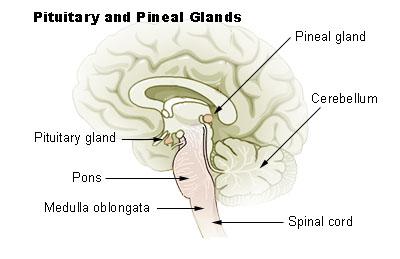 Illu_pituitary_pineal_glands