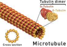 Microtubule_structure
