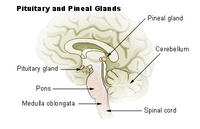 Illu_pituitary_pineal_glands